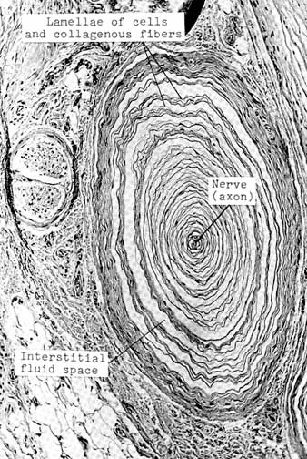 Diagram    Pacinian Corpuscle